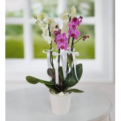 Beyaz Ve Mor  Orkide Çiçeği