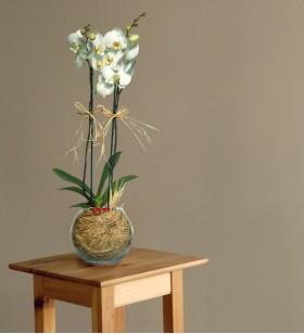 Cam Fanusta Beyaz Orkide Çiçeği
