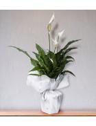 Beyaz Spatifilyum (Barış Çiçeği) Saksı Çiçeği