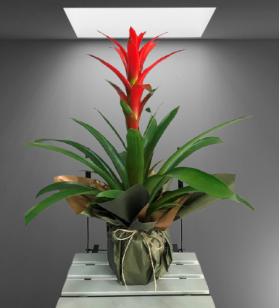 Red Plant Guzmania