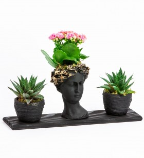 Trio Helen Kalanchoe ve Howartia