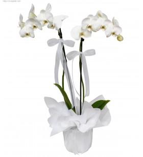 ciftli orkide beyaz